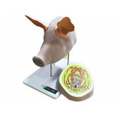 """Анатомический ветеринарный тренажер """"Голова свиньи с ушами и топографией анатомических слоёв"""""""