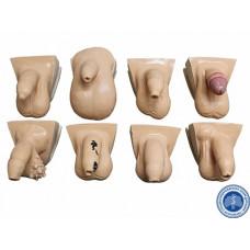 Тренажер для наружного осмотра мужских половых органов (вертикальный)