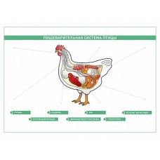 """Электрифицированный стенд """"Пищеварительная система сельскохозяйственных животных"""" со сменными фолиями"""