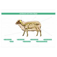 """Электрифицированный стенд """"Нервная система сельскохозяйственных животных"""" со сменными фолиями"""